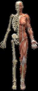 Skelett mit Muskeln